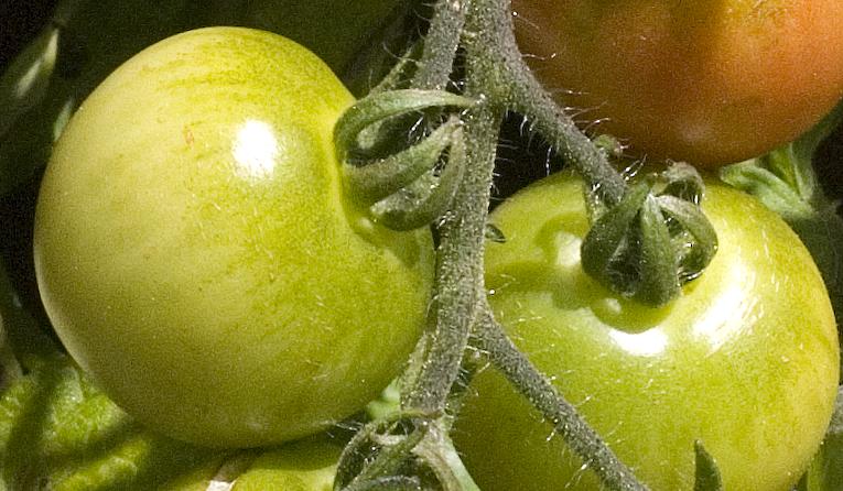 Gröna tomater