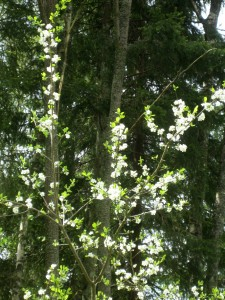 Plomonträdet.